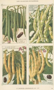 Kacang buncis